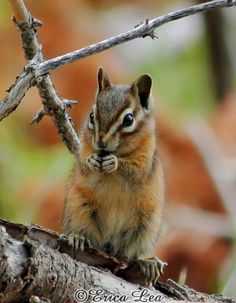 Chipmunk Photo Woodland Animal Photography 5x7 by NatureVisionsToo