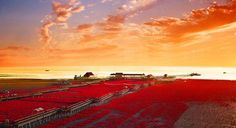 Panjin Red Beach, China Panjin red sea beach is famous for its landscape featuring the red plant of Chenopodiaceae, Suaeda salsa. It is based in the biggest wetland and reed marsh in the world. The landscape is composed of shallow seas and tide-lands.