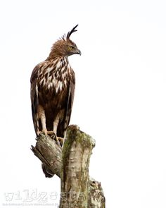 Changeable Hawk Eagle by WildZests .com on 500px
