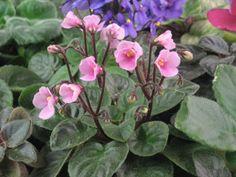 African Violet, live plant, ALLEGRO CUPID PINK, pretty pink flower