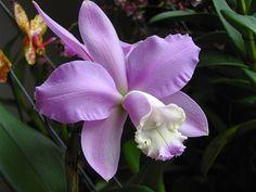 Las Cattleya con unas flores de cera, con gran fragancia y de larga duración.