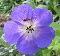 Fly on a Geranium flower