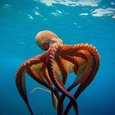 This is my inspirational image. I was looking at sea creatures and found this stunning octopus and I knew I want to create a character inspired from this octopus. Underwater Creatures, Underwater Life, Underwater Animals, Underwater Photos, Beautiful Sea Creatures, Animals Beautiful, Majestic Animals, Fauna Marina, Beautiful Ocean