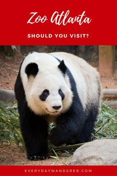 See the Giant Pandas and more at the Atlanta zoo in Georgia. #Zoo #pandas #atlanta #Georgia