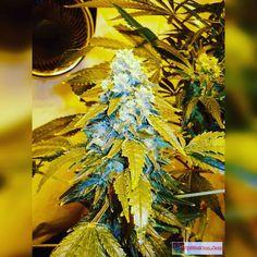 Cinderella 99 low pressure aeroponics grow. Will always grow this girl. Bros Grimm the original breeder is now back in business on 4/20  http://ift.tt/238uaUP  OR TAP LINK IN BIO @howtogrowweed420  #weed #marijuana #cannabis #medicalmarijuana #mmj #ogkush #og #loud #dank #hydroponics #aeroponics #howtogrowweed #growingweed #420dotcom #howtogrow #howtogrowweedindoors #karmagenetics  #awardwinningcircle #karma_squad_strong  #cinderella99 #brothersgrimmseeds