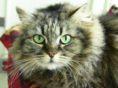 Adoptable Cat: Schmelia. Click through to see how you can adopt her or other pets. Adopt a pet!