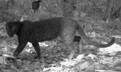 黒豹は実はヒョウ柄だと判明 : 【2ch】コピペ情報局