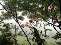 Roses in Fog Forest.  Pau Mtz C Photography.