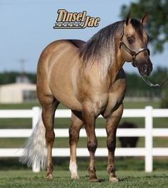 Show Horse Gallery - Tinsel Jac
