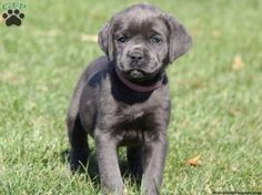 cane corso puppies for sale in pa