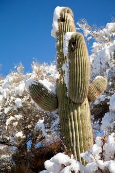Tucson, Arizona - saguaro cactus with snow Cacti And Succulents, Planting Succulents, Cactus Plants, Arizona Usa, Tucson Arizona, Desert Life, Desert Plants, Cactus Y Suculentas, Best Photographers