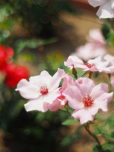 'Dainty Bess' | Hybrid Tea Rose. Wm. E.B. Archer & Daughter,1925  | Flickr - © Polotaro