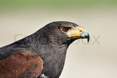 Closeup portrait of the Harris hawk (Parabuteo unicinctus) | Stock Billede | Colourbox on Colourbox