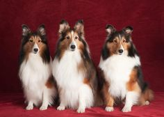 The Shetland Sheepdog, or Sheltie, is essentially a miniaturized version of the Standard Collie, although it has some Border Collie genetics behind it.  The Sheltie stands 13 to 16 inches tall.