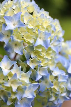 Hydrangea   beautiful  color   j aime ,,,,,**+