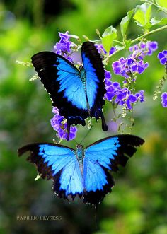 Ulysses butterfly (Papilio ulysses),  known as the Blue Mountain Butterfly or the Blue Mountain Swallowtail