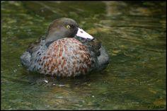 Blue Duck Ducky Duck, Ducks, Feathers, Birds, Blue, Animals, Animales, Animaux, Bird