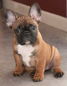 French Bulldog #Puppies for Sale If you are looking for a healthy, happy well-adjusted French bulldog you have come to the right place. Because we are small we offer high quality care for your new French bulldog #puppy.