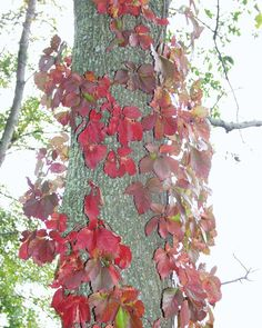 Red leaves surround tree at Buckhorn Island State Park, Grand Island, NY