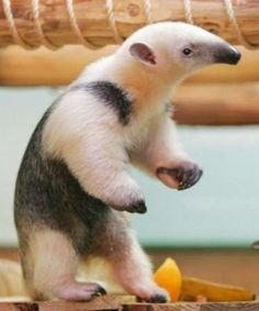 * * FACTOID: The anteater in the wild actually prefers termites to ants.