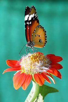 ~The Common Tiger (Danaus Genutia)~  #butterflies  #commontiger