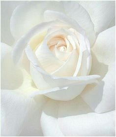 White Feed, All White, Pure White, White Roses, White Flowers, Beautiful Flowers, Fall Wedding Bouquets, Wedding Flowers, Bridal Bouquets