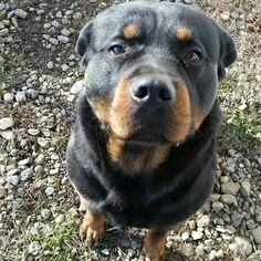 All Dogs, Best Dogs, Rottweiler Love, Pitbulls, Rottweilers, Animal Games, Four Legged, Animals Beautiful, Fur Babies
