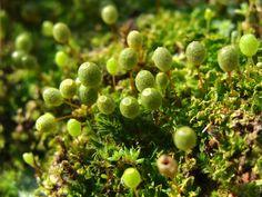 Moss: Costesia macrocarpa