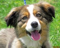 *KAYLEE* - meet and greet July 6-8th!: Australian Shepherd, Dog; Milwaukee, WI