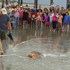 All hail The Pumpkin King! Our turtle friend was released back into the wild today at the Tybee Turtle Trot after being rehabilitated to full health at the Georgia Sea Turtle Center. [Photo cred: @shantet] #TybeeIsland #VisitTybee #SeaTurtles
