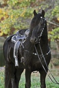 Heres your horse , laura!) Friesian stallion Keegan J Most Beautiful Horses, Pretty Horses, Horse Love, Animals Beautiful, Beautiful Boys, Black Horses, Wild Horses, Black Stallion Horse, Unicornios Wallpaper