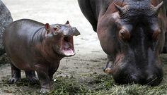 I love baby hippos!