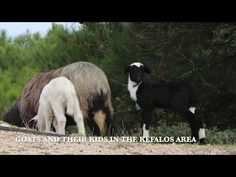 Of goats and their kids in the Kefalos area on the island of Kos in Greece, Kos, Greece, Island, Videos, Youtube, Animals, Greece Country, Animales, Animaux