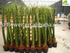 Bambusa tuldoides 'Ventricosa'