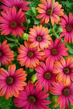 Cape Daisy (Osteospermum), a. African Daisy - I can't get enough of looking at these flowers. Amazing Flowers, My Flower, Beautiful Flowers, Colorful Flowers, Flower Pots, Nature Rose, Color Combos, Beautiful Color Combinations, Color Schemes