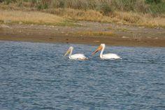 American White Pelicans ©Steve Frye. Wild Bird Center of Boulder, CO Saturday Morning Bird Walk in Boulder County – May 10, 2014.