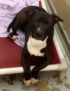 """#URGENT!!! """"TUX""""...Kennel # 18.. Very lovable guy ....NOW #ADOPTABLE!!!! Can you help? FOUND IN #LORAIN COUNTY #ELYRIA, #Ohio...Kennel # 18   available for adoption  2/22"""