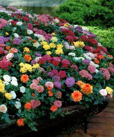 cottage farms direct mini rose sampler 12piece set - Mini Roses Care Indoor