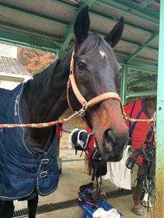 Beauty Life, dalle 14:00 al 21 dicembre 2015 lunedì per il corso II con l'istruttore Ozaki e gli altri 4 cavalli; Sato, Hound, Orange Pekoe, Pocky. Sato e Pekoe correvano pesantissimi!