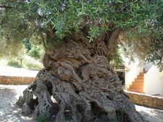 This ancient olive tree on Crete is one of seven olive trees in the Mediterranean believed to be at least 2,000 to 3,000 years old. The Olive Tree of Vouves might be the oldest among them, estimated at over 3,000 years old. It still produces highly prized olives.