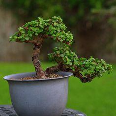 Semicascade Shohin Portulacaria Jade Plant Bonsai, Succulent Bonsai, Juniper Bonsai, Jade Plants, Bonsai Plants, Bonsai Garden, Cacti And Succulents, Jade Tree, Bonsai Styles