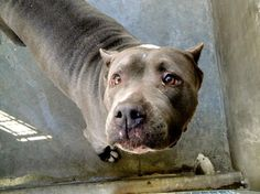 """Beautiful LADY - A1373419 is crying 'cause she is RED LISTED!! Lady was temp tested by a trainer & did """"AWESOME!"""" She visited with children at the shelter and was great!! She is dog friendly. Highly adoptable. East Valley Shelter, Van Nuys, CA (888) 452-7381  ANIMALS CAN BE EUTHANIZED FOR SPACE AS EARLY AS 48 HOURS AFTER BEING ADDED TO THE RED LIST!!!!!  I am an unaltered female, gray and white American Staffordshire Terrier, about 4 years old & 67 lbs…"""