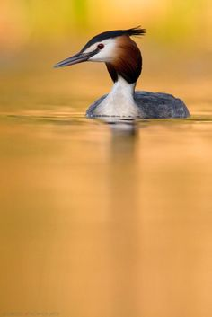 Great crested grebe by Andy on 500px