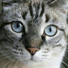 Gato Europeo: fue en 1982 cuando, al gato vulgar, se le reconoció de forma oficial como un gato de raza, con el nombre de Europeo.