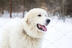 Pyrenean Mountain Dog in winter fore by konstantin.tronin on @creativemarket
