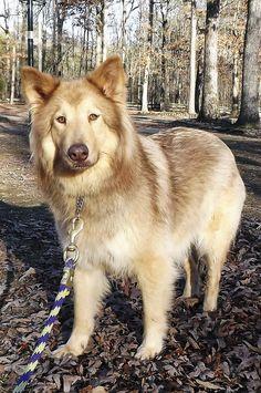 Native American Indian Dog. I think this May be my next dog.