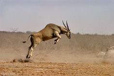 Africa's largest antelope: Elands can grow to a mass of about 900kg. The amazing thing is that even though they weigh so much, they're able to jump about 2.5 meters into the air from a stand-still.