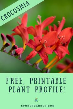 In this free reference guide, learn Crocosmia care tips, maintenance, companion plants and more! Subscribe to collect your free PDF, as well as access to the rest of our free resource library! #crocosmia #crocosmialucifer #crocosmiacare #cottagegarden #spokengarden