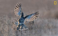 Great Grey Owl Taking Off In Winter: Tin Sang Chan.