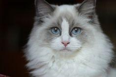 I always wanted a Ragdoll Kitty Cat